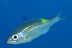BD-150422-Maldives-7751-Gnathodentex-aureolineatus-(Lacepède.-1802)-[Striped-large-eye-bream].jpg